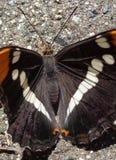 Dorstige Vlinder - de Zuster van Californië - Adelpha-californica, - Drinkwater van Nat Beton Stock Foto's