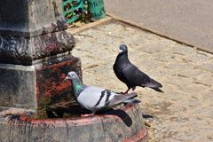 Dorstige vogels bij de waterfontein Royalty-vrije Stock Foto