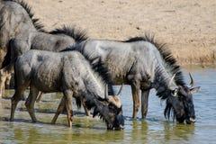 Dorstige Wildebeest die van een drank genieten Royalty-vrije Stock Fotografie