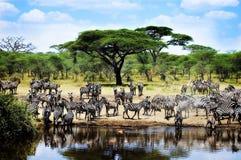 Dorstige Zebras Royalty-vrije Stock Afbeeldingen