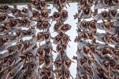 Dorsz ryba bezgłowy obwieszenie suchy na drewnianych stojakach obraz royalty free