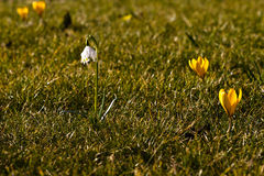 Dorthea lily and crocus in the grass Royalty Free Stock Photography
