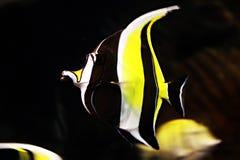 dory ψάρια Στοκ Εικόνες