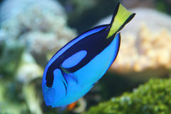 Dory the fish. This is a Paracanthurus hepatus fish Royalty Free Stock Image