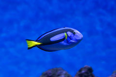 Dory fish closeup Palette surgeonfish inside coral reefs in the blue aquarium Stock Images