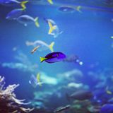 Dory. Fish swimming in a bowl Royalty Free Stock Photography