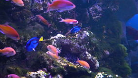 Dory`s cartoon fish. Fish in the aquarium. Many beautiful colorful fish. Slow motion Background