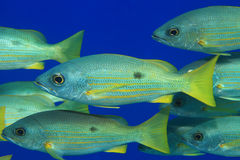 Dory snapper fish Royalty Free Stock Photos