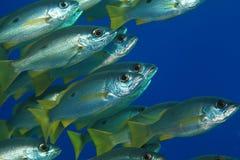 Dory snapper fish Stock Photos