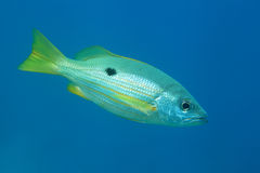 Dory snapper fish Royalty Free Stock Photography