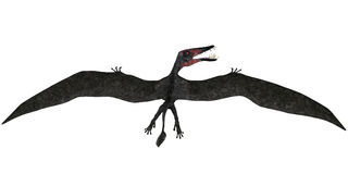 Dorygnathus Flight on White Stock Image