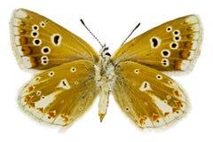Dorylas de Polyommatus Fotografia de Stock Royalty Free