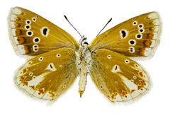 Dorylas van Polyommatus Royalty-vrije Stock Fotografie