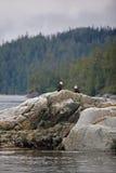 Dos águilas calvas en la orilla rocosa Fotografía de archivo libre de regalías