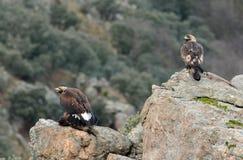 Dos águilas de oro Fotografía de archivo