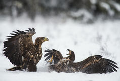 Dos águilas en una lucha Fotografía de archivo