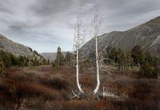 Dos árboles. Fotografía de archivo libre de regalías