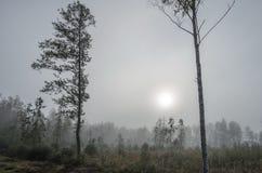 Dos árboles al borde de un pantano contra la madera distante en niebla foto de archivo libre de regalías