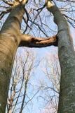 Dos árboles crecidos juntos, inosculación Fotografía de archivo