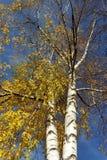 Dos árboles de abedul Fotos de archivo libres de regalías