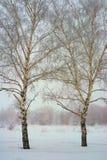 Dos árboles de abedul Fotos de archivo