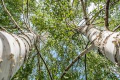 Dos árboles de abedul Imágenes de archivo libres de regalías