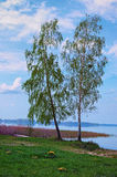 Dos árboles de abedul altos se colocan en el mismo borde del lago Lago Svityaz Región de Volyn ucrania Imágenes de archivo libres de regalías