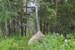 Dos árboles de abedul crecen de debajo la piedra Imagenes de archivo
