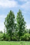 Dos árboles de abedul dobles contra un cielo azul, un claro con la hierba verde y plantas arbustivas enanas, fondo de la naturale Fotos de archivo libres de regalías