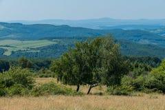 Dos árboles de abedul en el campo de la hierba seca en la pendiente de la colina Imagen de archivo libre de regalías
