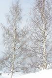 Dos árboles de abedul en invierno Fotos de archivo libres de regalías