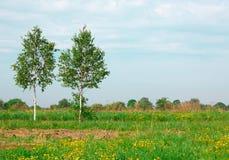 Dos árboles de abedul en un campo Imágenes de archivo libres de regalías