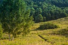Dos árboles de abedul en un prado contra la madera Foto de archivo libre de regalías