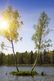Dos árboles de abedul están creciendo en una pequeña isla en el medio del lago del bosque Gatchina, St Petersburg, Rusia Foto de archivo libre de regalías