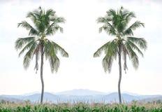 Dos árboles de coco en el medio de un campo de maíz Foto de archivo libre de regalías