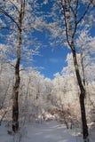 Dos árboles de enero del invierno imagenes de archivo