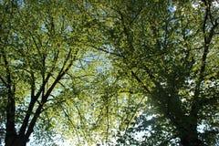 Dos árboles de hojas caducas Fotos de archivo