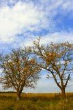 Dos árboles de nuez viejos Foto de archivo