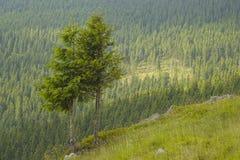 Dos árboles de pino Imágenes de archivo libres de regalías