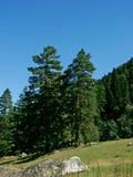 Dos árboles de pino Fotografía de archivo libre de regalías