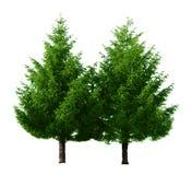 Dos árboles de pino fotos de archivo libres de regalías