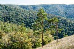 Dos árboles de pino verdes en la ladera y las montañas enselvadas en el fondo Imágenes de archivo libres de regalías