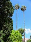Dos árboles de Washingtonia Fotografía de archivo