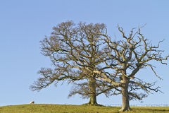 Dos árboles deshojados del invierno contra un cielo azul Fotografía de archivo