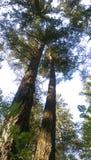 Dos árboles elevados Foto de archivo libre de regalías