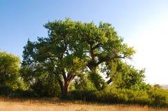 Dos árboles en la pradera de Colorado foto de archivo