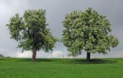 Dos árboles en resorte Imagen de archivo