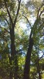 Dos árboles junto cerca del río Misisipi en el manganeso de Fridley Fotos de archivo