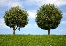 Dos árboles redondos Foto de archivo libre de regalías