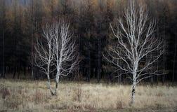 Dos árboles solos Fotografía de archivo